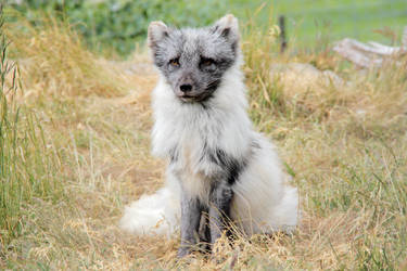 Arctic Fox by Artistic-Dodger