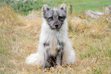 Arctic Fox II by Artistic-Dodger