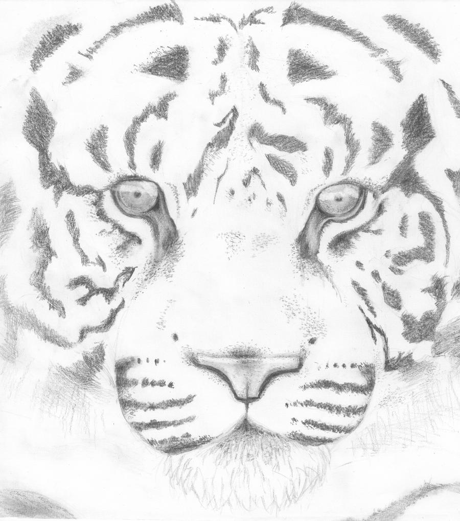 Tiger Face Sketch Viewing Gallery