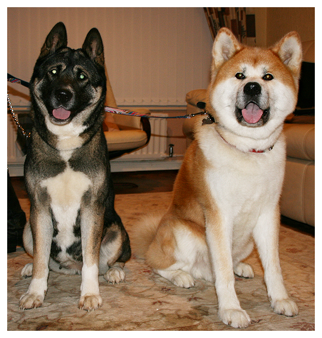 American and Japanese Akita by thisisyesterday on DeviantArt