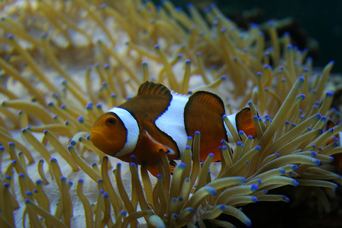 Clownfish by luckyperson69