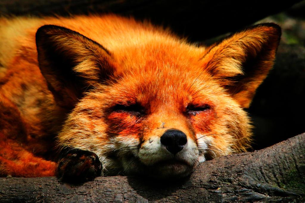 Fox by highlander08