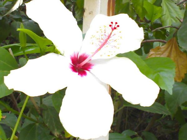 Holly flower