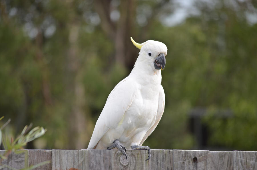Cockatoo by iskarlata