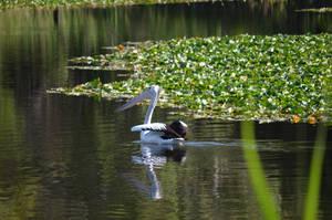 Pelican III by iskarlata