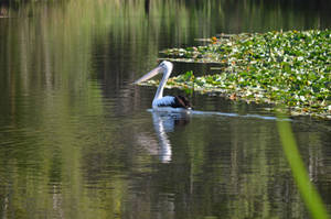 Pelican IV by iskarlata