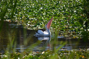 Pelican V by iskarlata