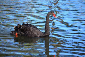 Black swan by iskarlata