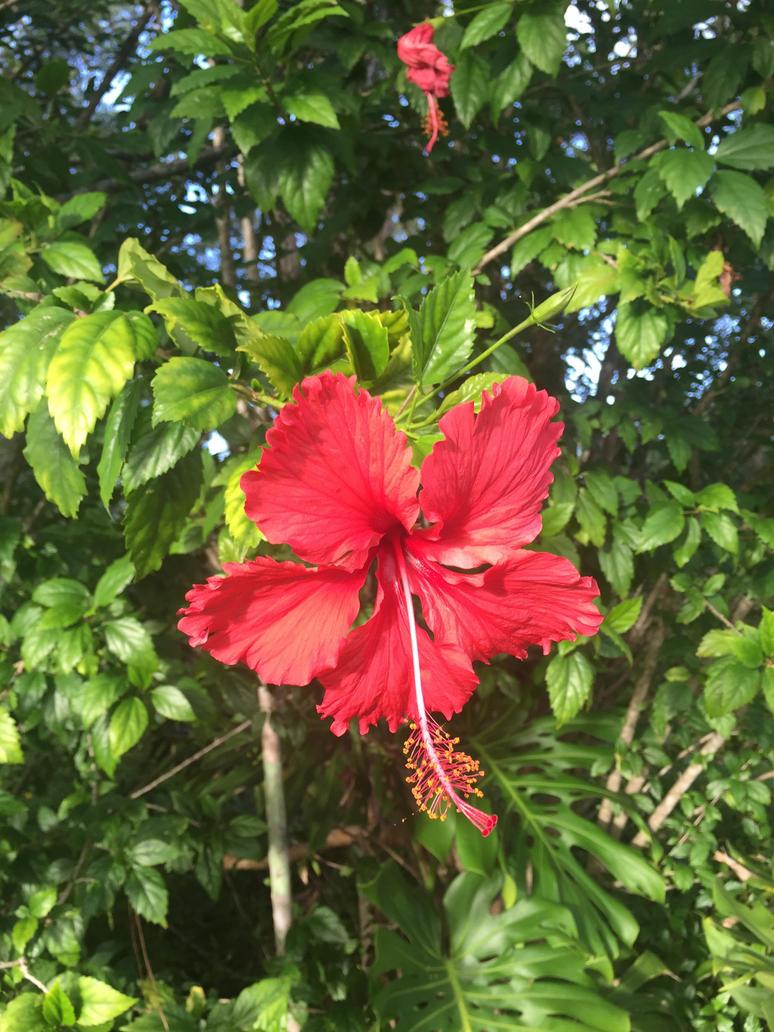 Hibiscus by iskarlata