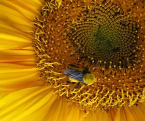 Sunflower Seed Sower by DVanDyk