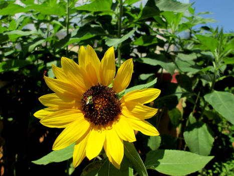 Peace Sunflower with Jerusalem artichoke