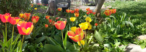 Tulips after Easter