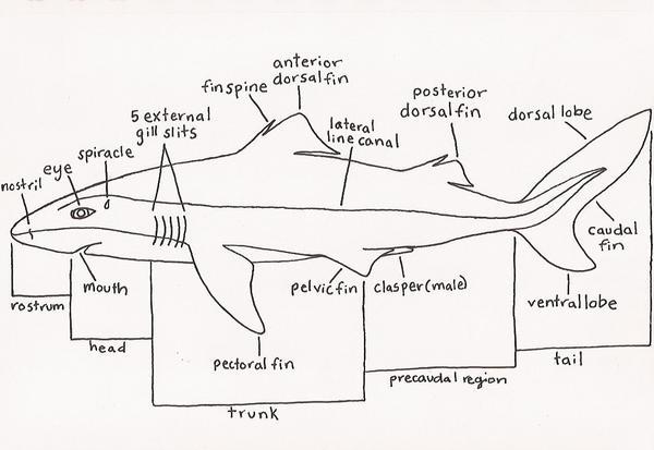 Dogfish external anatomy