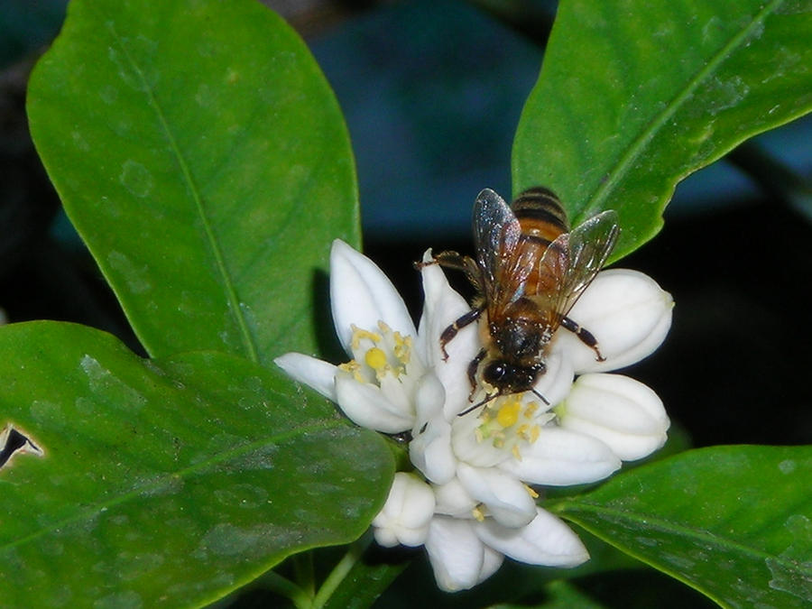 Kumquat Flowers Bee on a kumquat flower by
