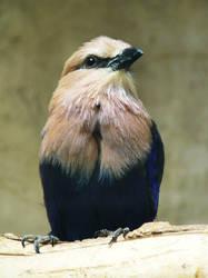 Blue-bellied Roller by JoanneLuk