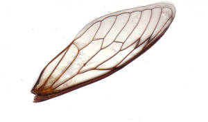Cicada Wing by serp-stock