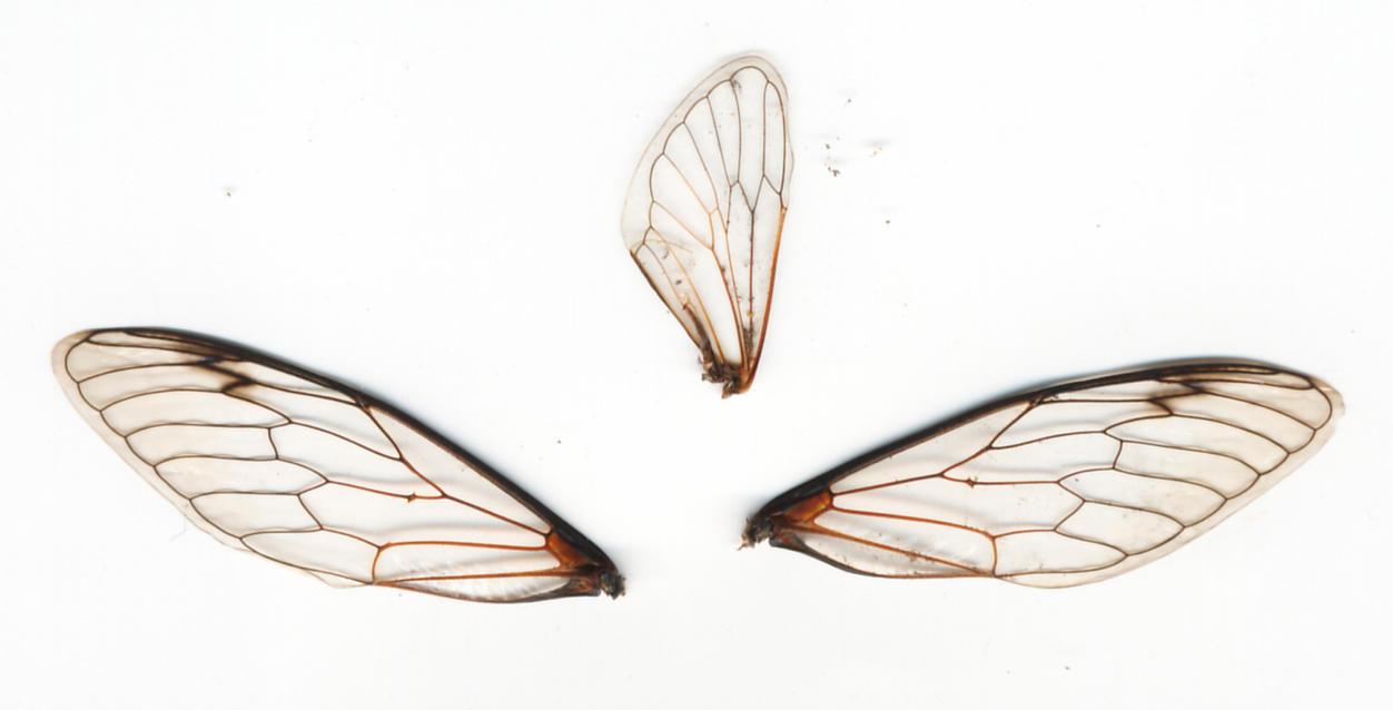 3_Cicada_Wings.jpg