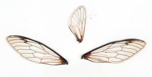 3 Cicada Wings