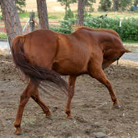 Thoroughbred Stallion 3