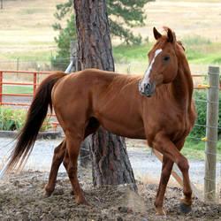 Thoroughbred Stallion 5