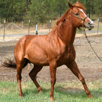 Thoroughbred Stallion 8