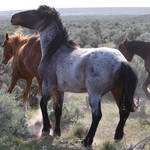 Wild Blue Roan Horse