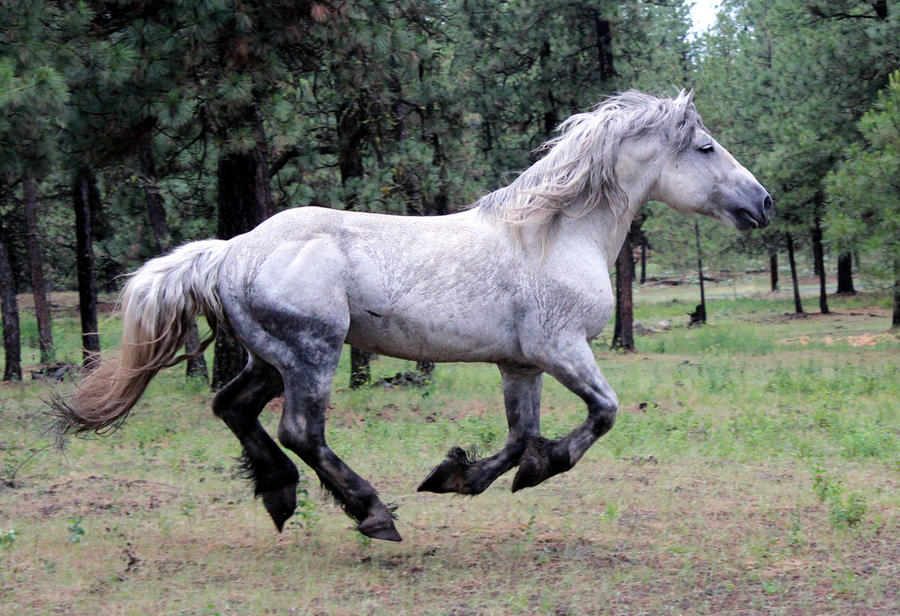 Percheron Gallop - Stock by Valarian-Warrior