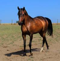 Dapple Bay Arabian