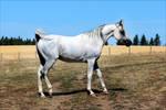 The Grey Arabian