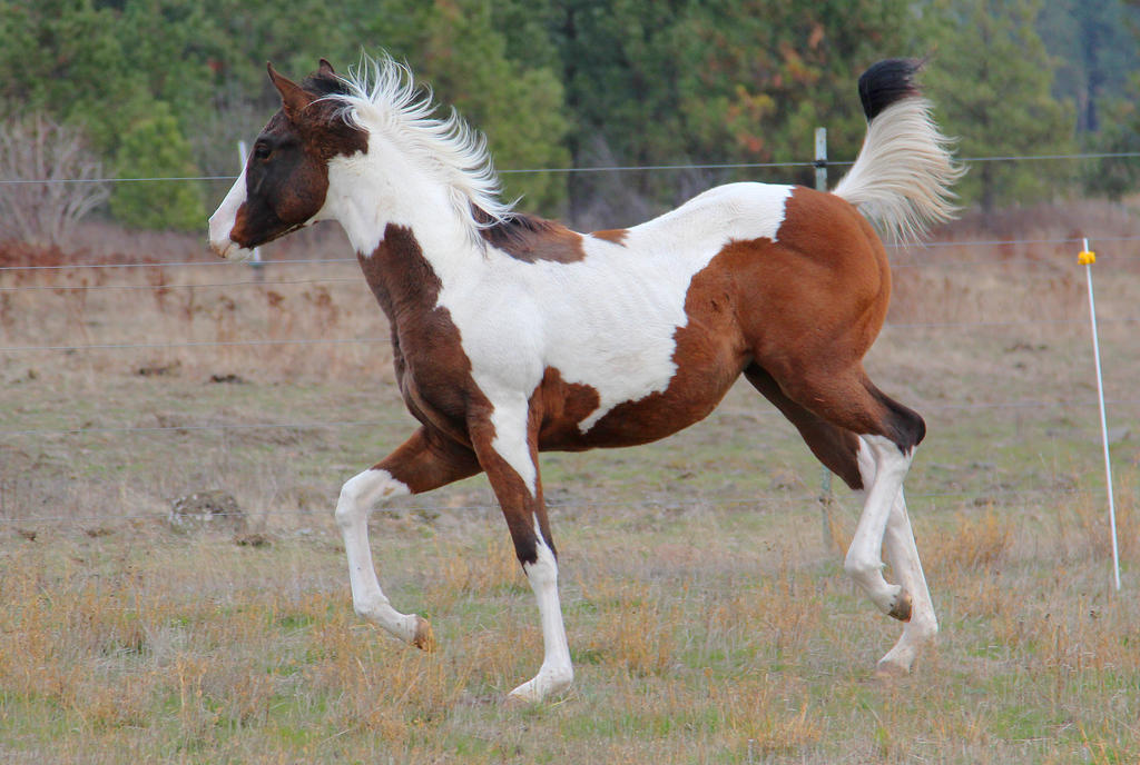 Weanling Paint Filly Trotting