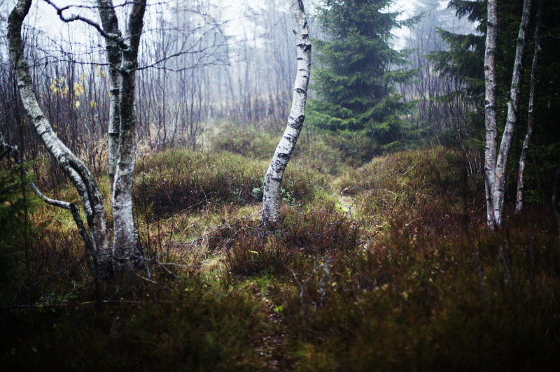 Birchfire. by immugraah