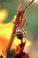 Wespenspinne Argiope bruennichi by AStoKo