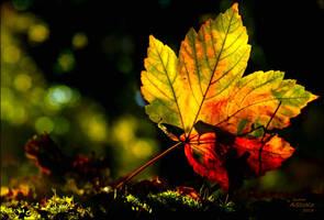 maple leaf 1b ... plus one exposure step