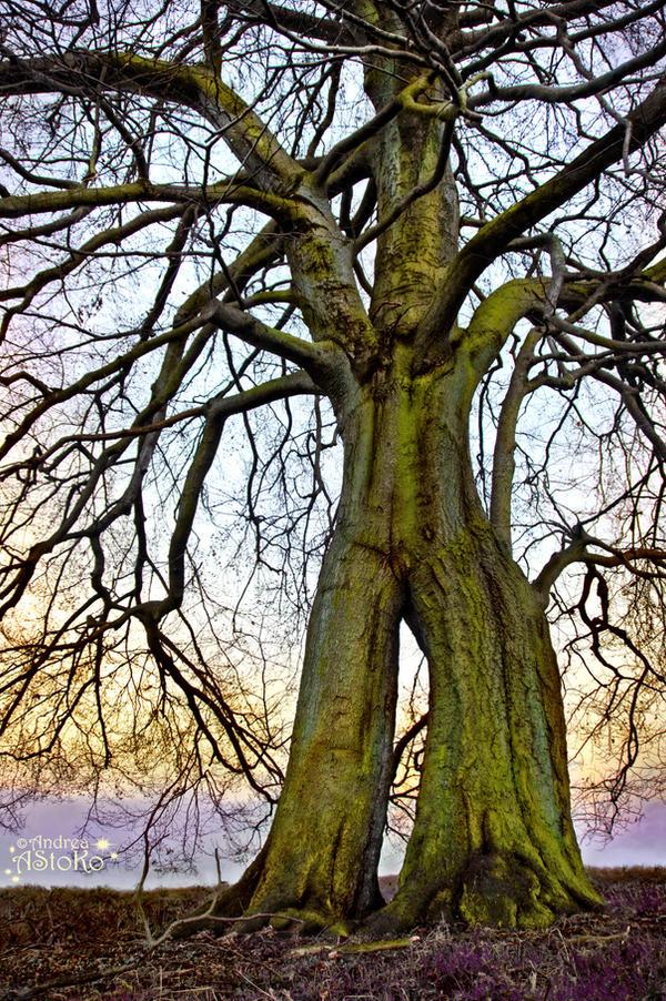 Baumbart Tree~ Treebeard ~ Napoleonsbuche 1