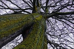 Baumbart Tree ~ Treebeard ~ Napoleonsbuche 2 by AStoKo