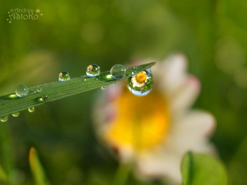 Daisy ~ Raindrops I by AStoKo