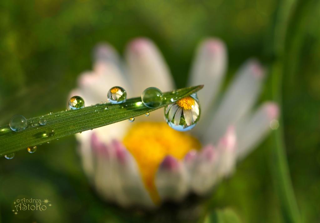 Daisy ~ Raindrops II by AStoKo