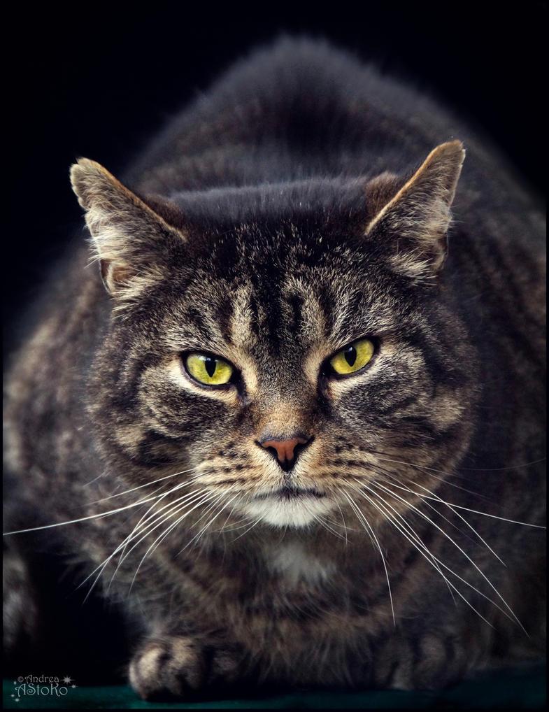 18 years old cat Balu ~ S T O C K by AStoKo by AStoKo