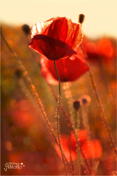 Poppies dancing in the wind