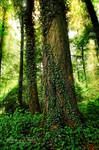 Ivy embrace 1 ~ Forest