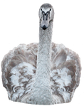Young swan png 1 ~ STOCK by AStoKo