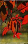 Autumn wine leaves ~ AStoKo