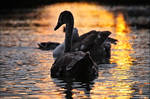 Swans from the series 1-5 ~ AStoKo