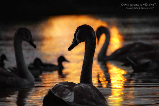 Swans from the series 1-6 ~ AStoKo
