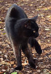 black cat ~ STOCK by AStoKo