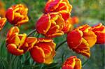 Simple Tulips