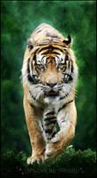 Tigers wandering