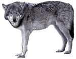 Grey wolf - wolves 1 - golden eyes - Stock