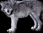 Grey wolf - wolves 1 - golden eyes - Stock