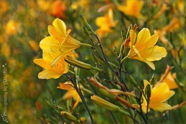 Lilies - Hemerocallis lilioasphodelus by AStoKo